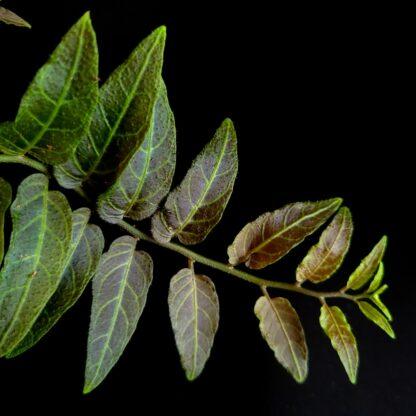 Solanum evolvulifolium