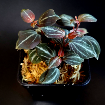 Peperomia bicolor potted